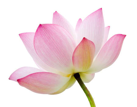 lotus blossom: Lotus flower isolated on white background.