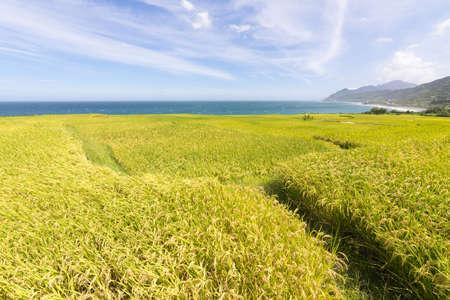 grain fields: Paddy terrace farm near the sea under blue sky, shot at Xinshe, Fengbin Township, Hualien County, Taiwan, Asia.