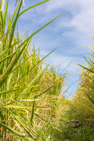 agriculturalist: Rural scenery with golden paddy rice farm under blue sky. Stock Photo