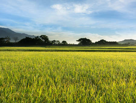 agriculturalist: Rural scenery of paddy farm in Chishang Township, Taitung County, Taiwan, Asia. Stock Photo
