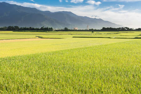 paddies: Rural scenery with golden paddy rice farm in Hualien, Taiwan, Asia.