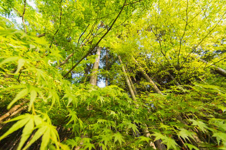 elevation: Elevation view with emerald green maple trees.
