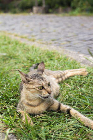 Tabby cat lying on the grass of outdoor in the cat village of Houtong, Taiwan. photo