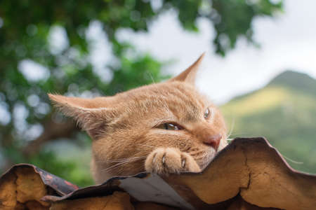 Ginger tabby cat resting on the roof in the cat village of Houtong, Taiwan.  photo