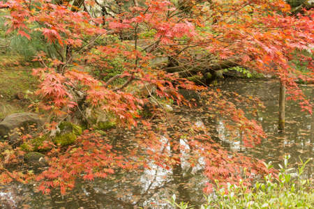meditaion: Red maples planted on the shore and reflection in a Japanese garden near Heian Shrine.