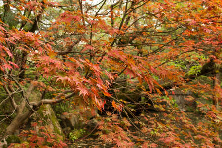 meditaion: Red maples planted on the shore  in a Japanese garden near Heian Shrine.