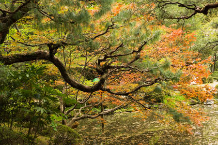 meditaion: Red maples and pines planted on the shore in a Japanese garden near Heian Shrine.