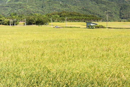 rice paddy: Landscape of paddy farm under blue sky in Hualien, Taiwan, Asia. Stock Photo