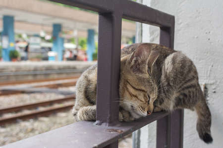 rely: Tabby cat rely on the the iron railing to sleep in the cat village of Houtong, Taiwan.
