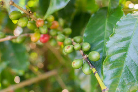 unpicked: Coffee beans ripening on tree in Luye, Taitung, Taiwan, Asia.