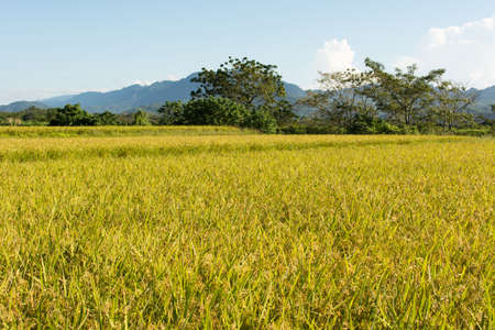 agriculturalist: Golden rice farm, landscape at Luye, Taitung, Taiwan, Asia. Stock Photo