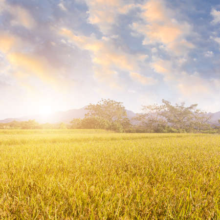 agriculturalist: Sunbeam and the golden paddy farm in the rural. Stock Photo