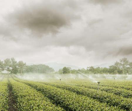 water sprinkler: water sprinkler at the tea farm
