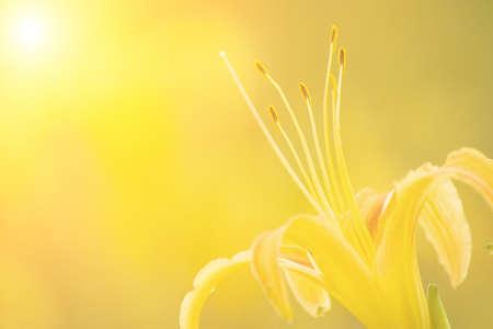 flor de lis: Es hermoso lirio amarillo granja del tigre. Foto de archivo
