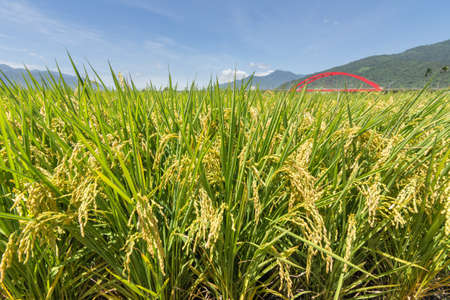 Rural scenery with golden paddy rice farm in Hualien, Taiwan, Asia.