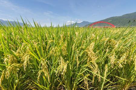 花蓮県、台湾、アジアで黄金の水田稲作農村風景。