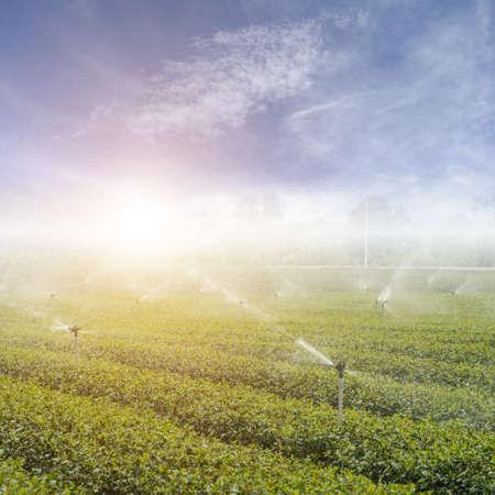 Tea tree: water sprinkler at the tea farm