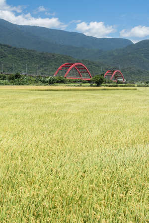 agriculturalist: Rural scenery with golden paddy rice farm in Hualien, Taiwan, Asia.