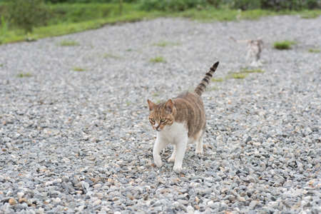 walk in: domestic cat walk in the outside Stock Photo
