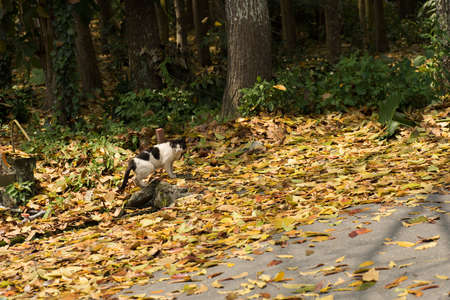 cat walk: cat walk on the countryside road with leaves Stock Photo