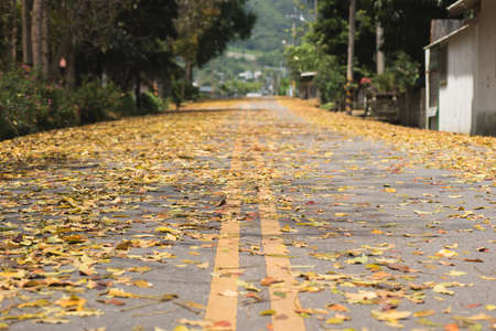 mahogany: countryside road with leaves on the ground in spring in Taiwan, the tree called Honduras Mahogany tree. Stock Photo
