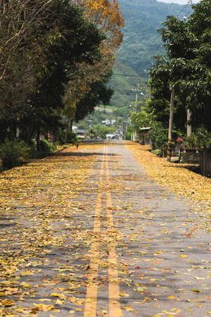 caoba: el camino del campo con las hojas en el suelo en primavera en Taiw�n, el �rbol llamado �rbol de caoba de Honduras. Foto de archivo
