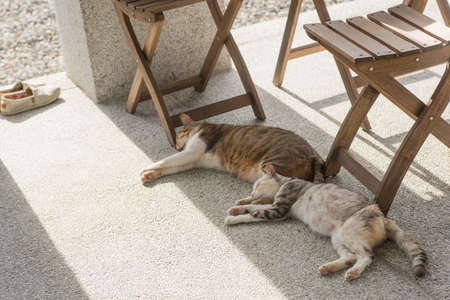 drowse: domestic couple cat sleep together on the ground