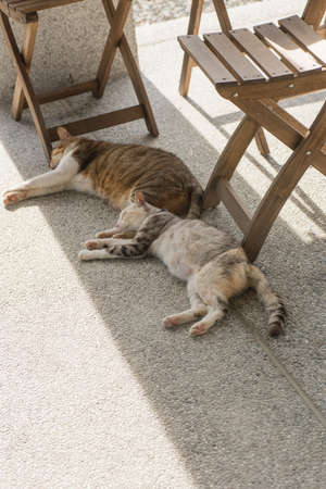 catnap: domestic couple cat sleep together on the ground