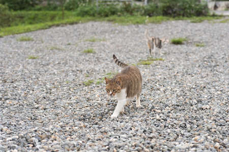 cat walk: domestic cat walk in the outside Stock Photo