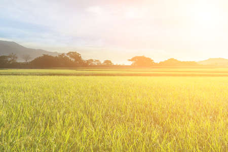 rice paddy: Rural scenery of paddy farm in Chishang Township, Taitung County, Taiwan, Asia. Stock Photo