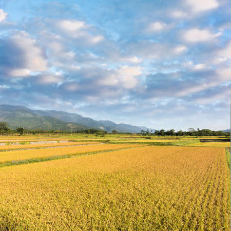 agriculturalist: Paddy farm with copyspace on sky.