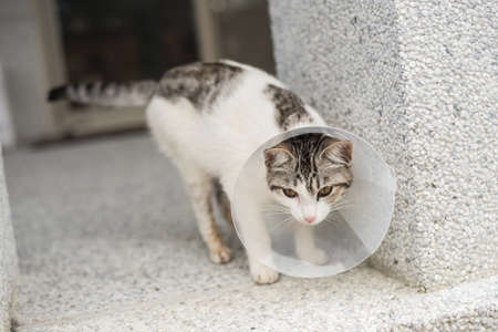 spay: little cat with Elizabethan collar after spay surgery