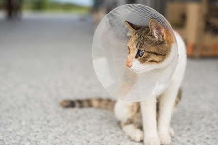 poquito: pequeño gato con collar isabelino después de la cirugía de esterilización