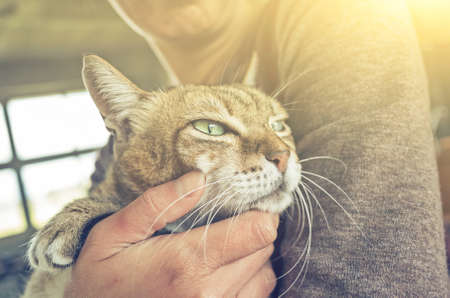 tabby fat cat held by a woman at home Stockfoto