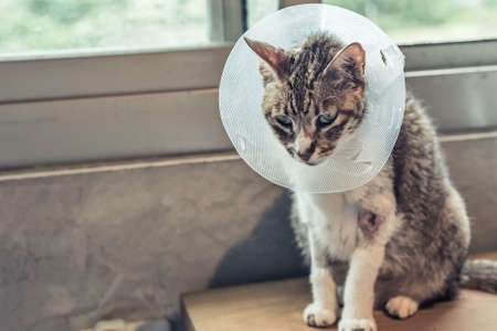 old sickness cat with Elizabethan collar at home