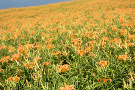 landscape of tiger lily (daylily) flowers farm at Taiwan Foto de archivo