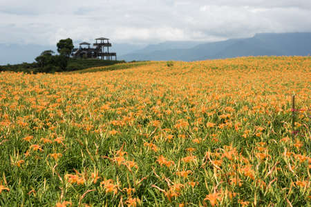 landscape of tiger lily (daylily) flowers farm at Taiwan Stock Photo