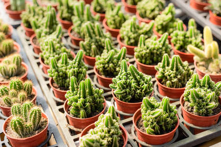various fresh cactus in the flower pot at the farm Stock Photo