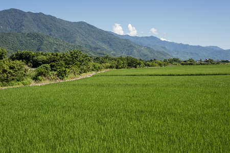 landscape of green paddy farm at countryside 免版税图像