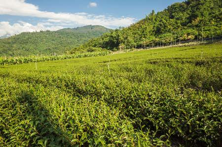 green tea farm at countryside, Luye, Taiwan
