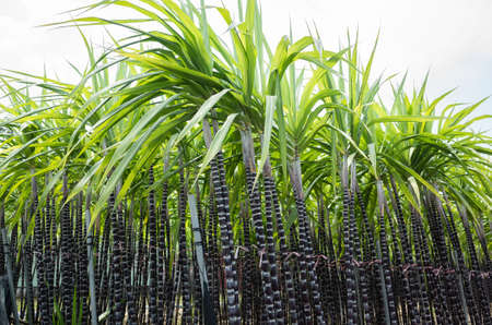 Zuckerrohrfarm tagsüber in