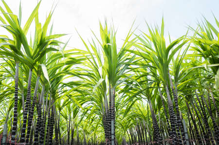 farm of sugar cane tree in the daytime