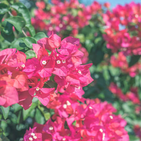 red bougainvillea flowers in the outdoor, concept of nature background
