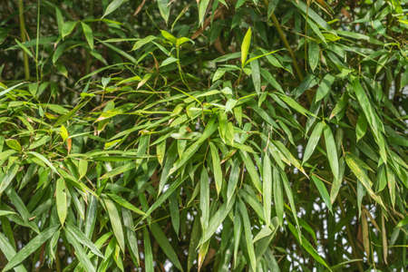 green bamboo in the outdoor, concept of nature background