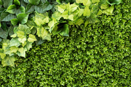 green ivy background with small leaves on wall