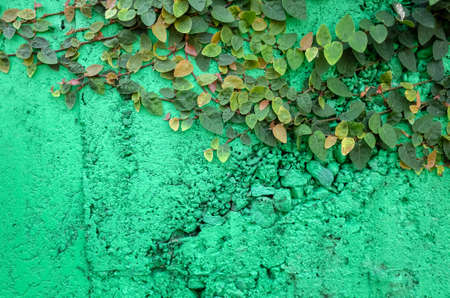 ivy leaves on green cement wall background