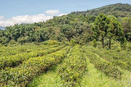 rural scenery of tea farm at Yuchi township, Nantou, Taiwan