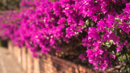 purple bougainvillea flowers in the outdoor, concept of nature background Stock Photo