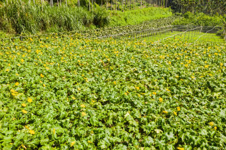 farm of loofah with yellow flowers and green leaves in the daytime Foto de archivo - 133538804