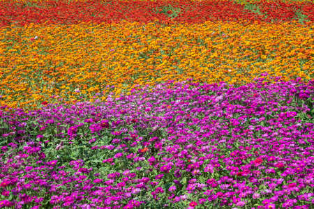 colorful cosmos flowers farm in the outdoor